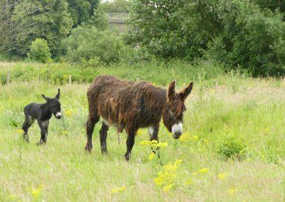Die Esel in der Steveraue